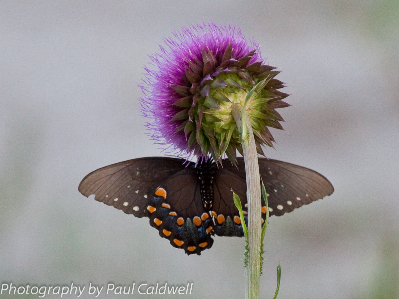 Butterfly and thistle in the Boxley Valley, Buffalo National River